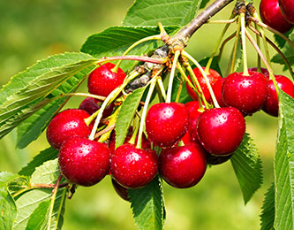 Fruit Tree cherry